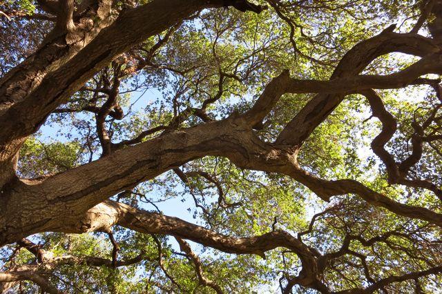 Winter Light thru Old Live Oak Canopy
